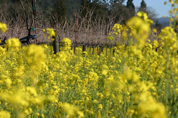 Napa vineyards in mustard